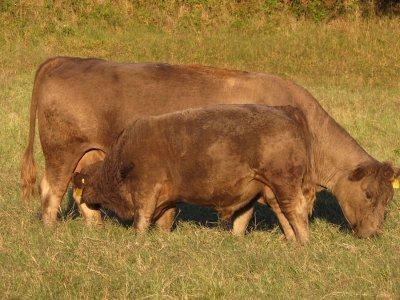015 Bull (7 months).jpg