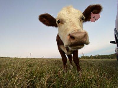 cow ear tag.jpeg