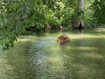 wading cow.jpeg
