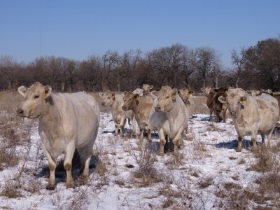 2021 Cow Herd in Snow.jpg