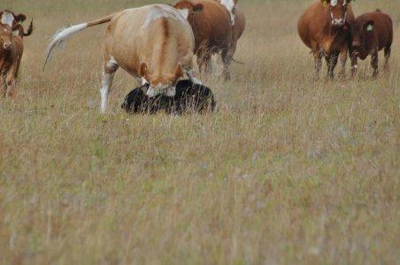 cowVsBear04.jpg