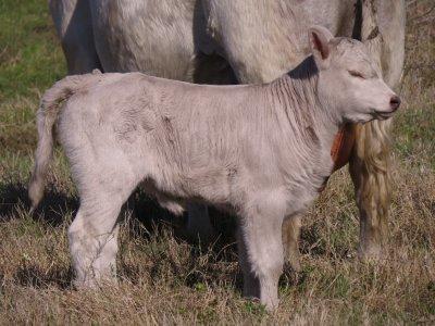 114 Heifer (5 days).jpg