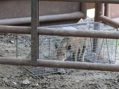 piglet trapped.JPG